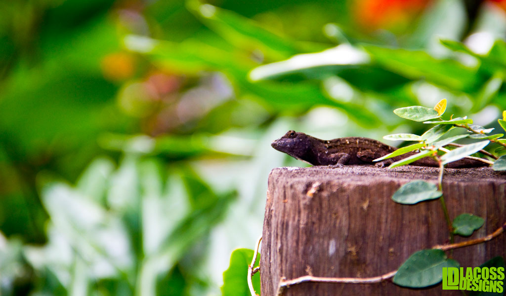 Brown Anole On Post – LacossDesigns.com