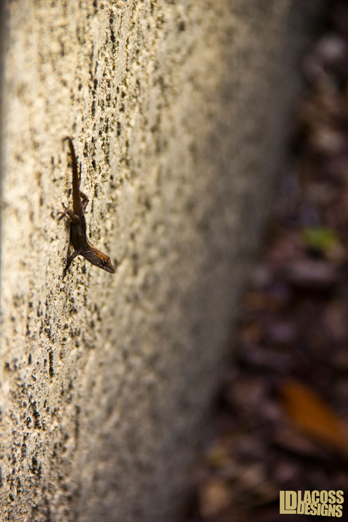 Brown Anole On Wall – LacossDesigns.com