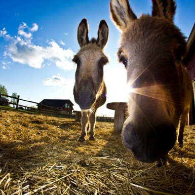 Donkeys Close Up - LacossDesigns.com