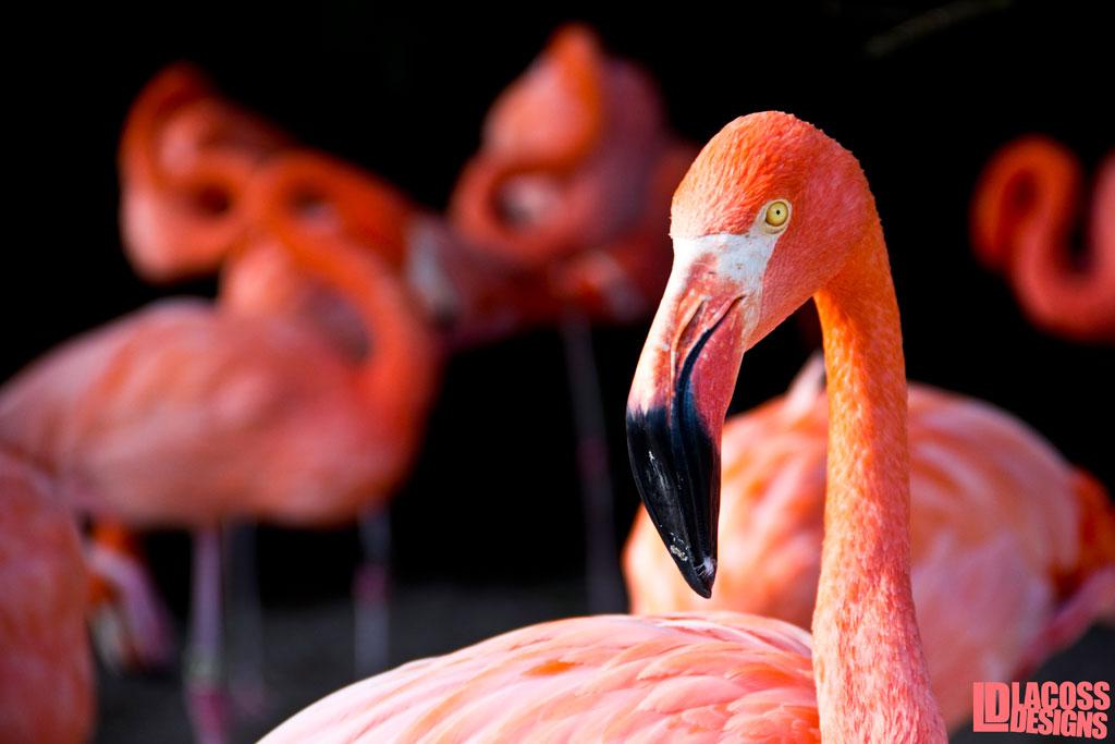 Flamingos At Sea World – LacossDesigns.com