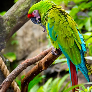 Green Macaw - LacossDesigns.com