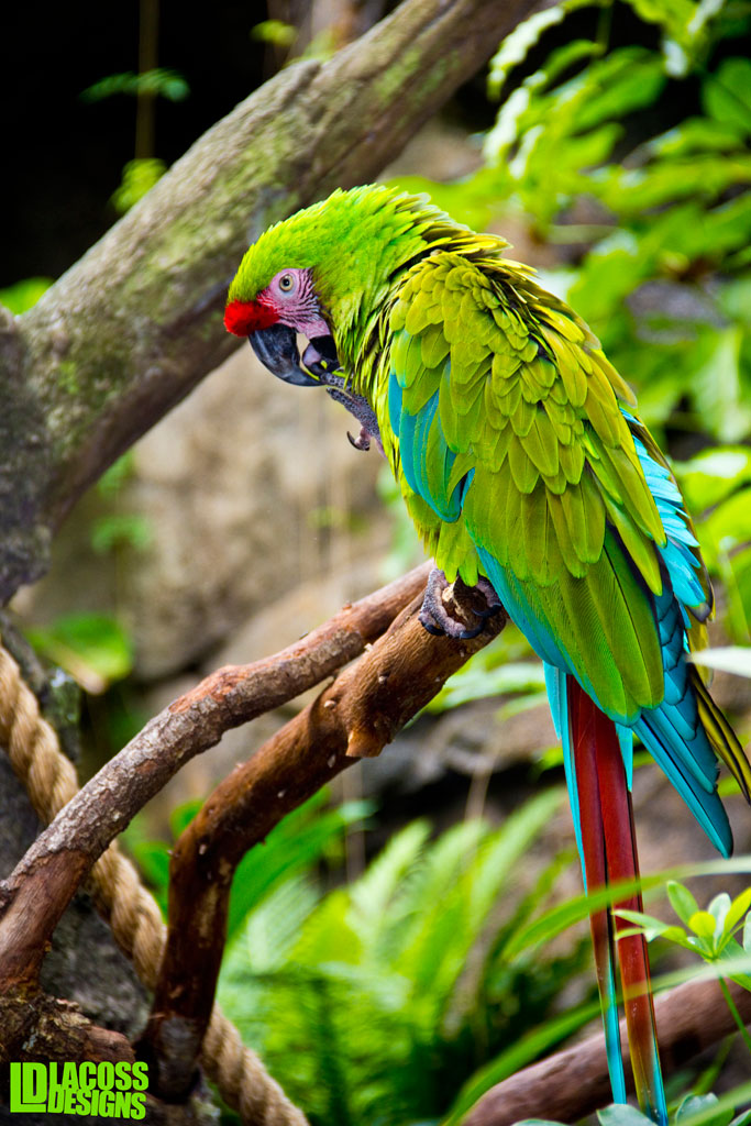 Green Macaw – LacossDesigns.com