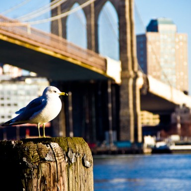 Seagull At Brooklyn Bridge - LacossDesigns.com