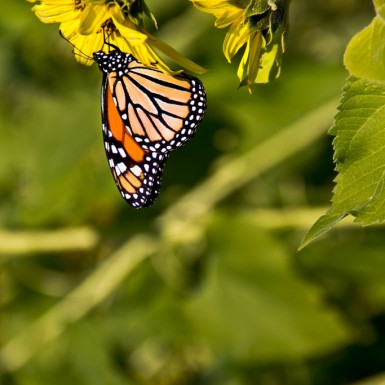 Monarch On Sunflower - LacossDesigns.com