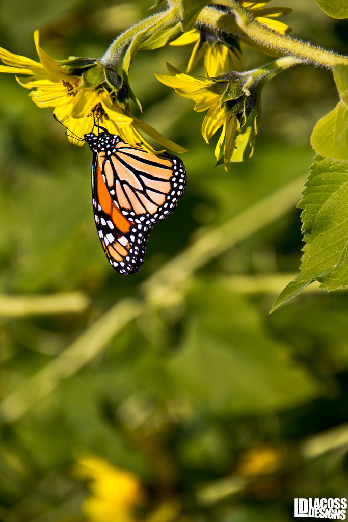 Monarch On Sunflower – LacossDesigns.com