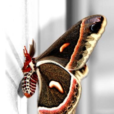Cecropia Moth - LacossDesigns.com