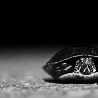 Turtle Crossing - LacossDesigns.com